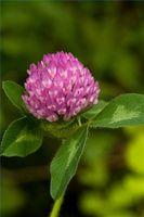 Informasjon om fordelene med rødkløver Herb
