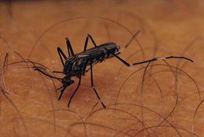 The Life Cycle av en Malarial Parasite i Human Body