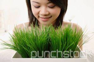 Fordeler med Pulverisert Wheatgrass