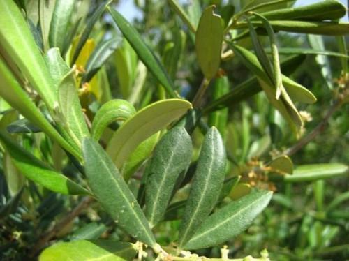 Fordeler med Olive Leaf Extract