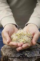 Alfalfa og klorofyll fordeler
