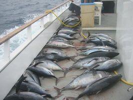 Albacore Tuna & Hair Vekst