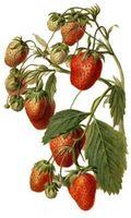 Helsemessige fordeler av jordbær