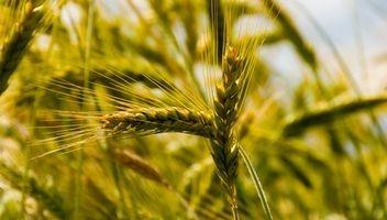 Hva proteiner er i korn?