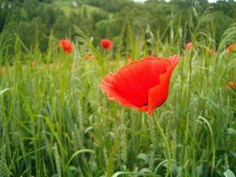 Red Poppy Herbal Bruker