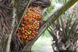 Hva er de helsemessige fordelene av rød palmeolje?