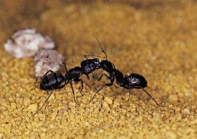 Hva Cures maur biter?