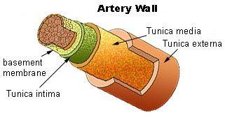 Oppbygging av en arterie