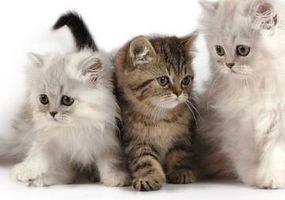 Cat Scratch Fever: Tegn og symptomer