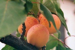 Hvordan kjøpe Apricot Kernel Oil Retail