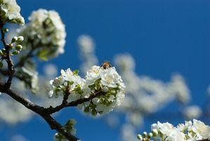 Bee Propolis & Infeksjoner