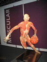 Deler av det muskulære systemet