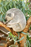 Om Eating eukalyptus blader