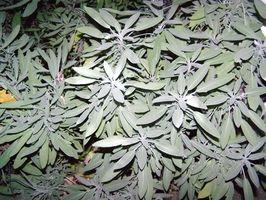 Vanlige Sage Plant Medisiner