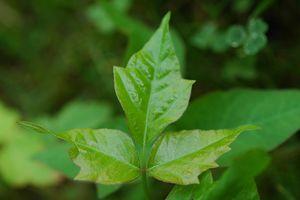 Homøopatisk behandling for Poison Ivy