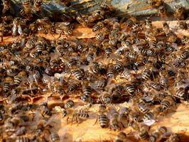 Hvordan behandle en allergisk reaksjon på en Bee Sting Med EpiPens