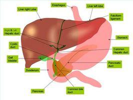 Hva gjør leveren gjøre med aminosyrer?