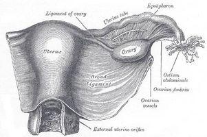 Definisjon av suspensory Ligaments