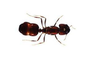 Bitende & Stikkende Maur i regnskogen