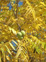 Fakta om Black Walnut tre blader