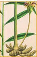 Bivirkninger av Ginger Tea