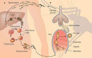 Plasmodium Vivax Life Cycle