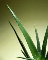forskjellige aloe vera planter