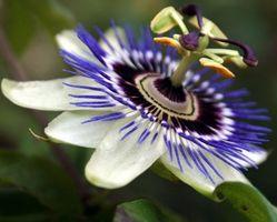 Passiflora incarnata Homeopati