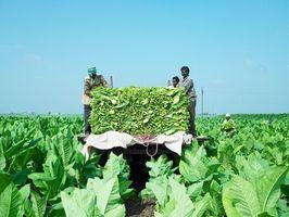 Hvilke tobakksplanter har minst Tar?