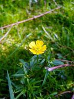 Ranunculus Bulbosus Fordeler