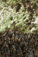 Hvordan detox med Seaweed