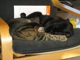 katter kattunger oppdragelse kattunge blir stueren