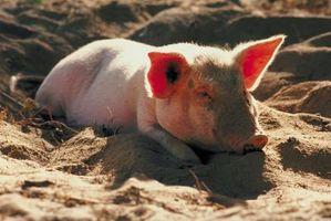 Forårsaker agent av svineinfluensa