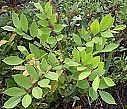 Hvordan unngå Catching Sumac og Poison Ivy