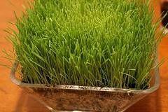 Wheat Grass ernæringsmessige fakta