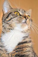 Hva er symptomene på å være allergisk mot katter?
