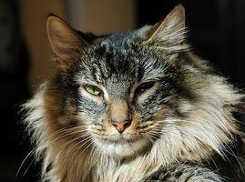 Tegn og symptomer på Cat allergi hos barn