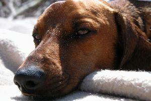 Tegn og symptomer på menneske Allergi mot hunder