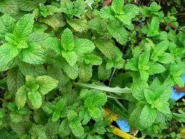 Langtidseffekter av Plant Based Østrogen