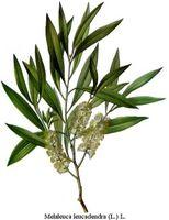 Tea Tree Oil Healing