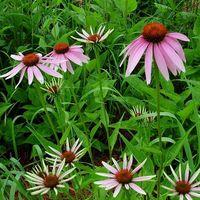 Bivirkninger av Echinacea