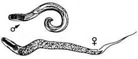 Hva er Pinworms?