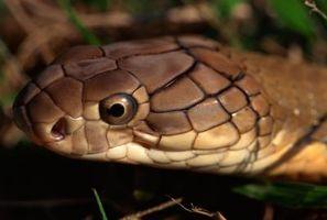 Forskjellen mellom en Animal Bite og en Snake Bite