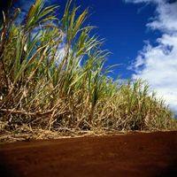 Fordeler og ulemper av Sugar Cane