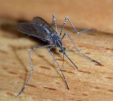 Hvordan virker Kinin arbeid mot Malaria?