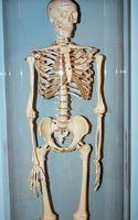 Typer av leddene i Human Skeleton