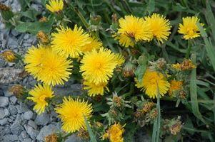 Hvordan identifisere Minnesota Spiselige ville planter