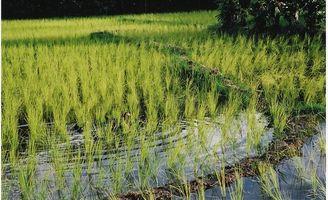 Hva er de helsemessige fordelene av ris eddik?