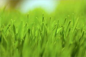 Hvordan du rengjør leveren med wheatgrass