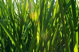 Wheat Grass Treatment